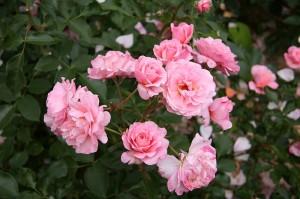 800px-Rose_Botticelli_20070601