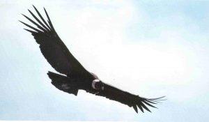 cóndor volador sep 011